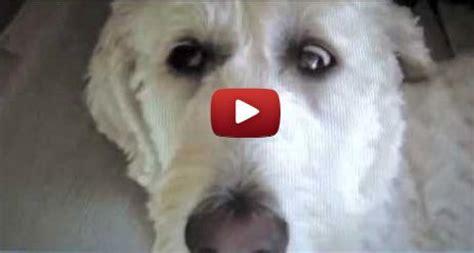 vestibular disease in dogs what is sleep apnea sleep more during period idiopathic vestibular disorder
