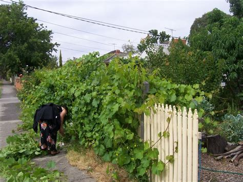 grape vines to cover fences landscaping pinterest