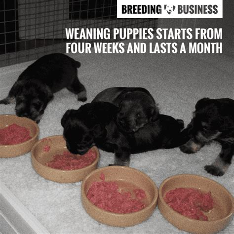 when can puppies be weaned weaning puppies when do puppies start solid foods