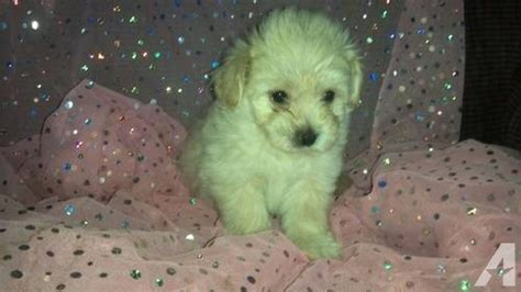 teddy puppies for sale in wi adorable teddy like puppies for sale for sale in boaz wisconsin classified
