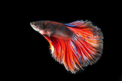 acquario tropicale pavia l oodiniasi o velluto dei pesci da acquario viridea