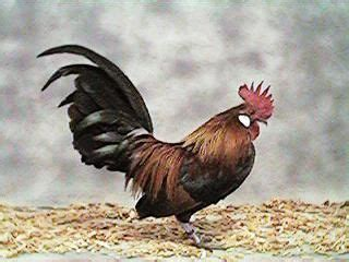 friendliest bantam chicken breeds bantam breed small bantam easily handled and friendly chickens