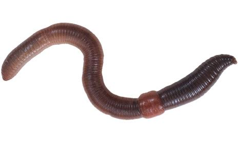 earthworm dissection free free earthworm clipart