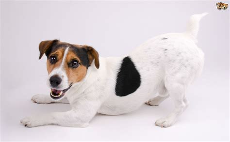 imagenes of jack russell ten training tips for the jack russell pets4homes