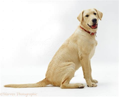 labrador or golden retriever 12425 labrador x golden retriever pup white background jpg 1271 215 1031 puppy