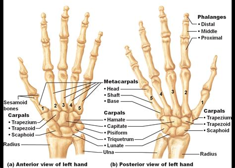 human wrist diagram get the bones in your memory anatomy for humans all