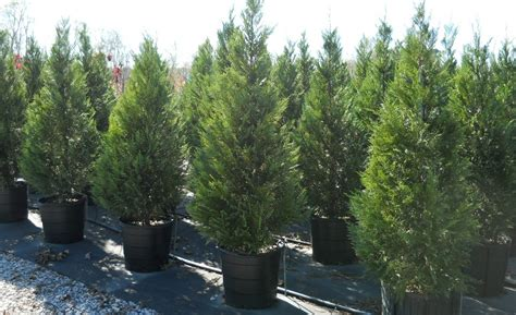 best 28 christmas tree farm athens ga 7 g s farm