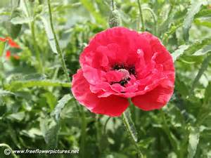 corn poppy pictures shirley poppy pictures field poppy
