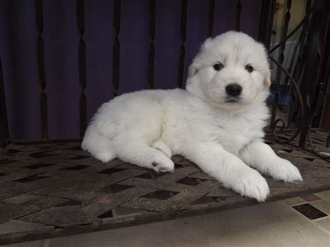 samoyed golden retriever mix samoyed golden retriever breeds picture