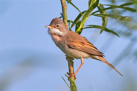 images of common whitethroat