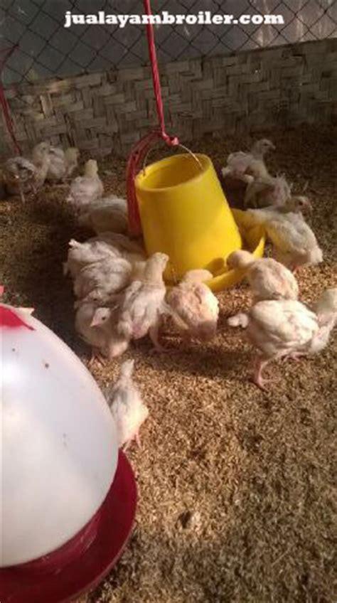Jual Bibit Ayam Potong Samarinda jual ayam broiler di margahayu jual ayam broiler