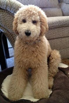 Goldendoodle Hair Types by 25 Best Ideas About Goldendoodle Grooming On