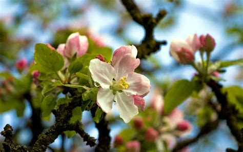 apple blossom apple blossom wallpapers wallpaper cave