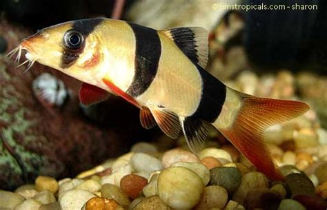 Tropical Fish Bottom Feeder freshwater tropical fish profiles bottom feeders witness this