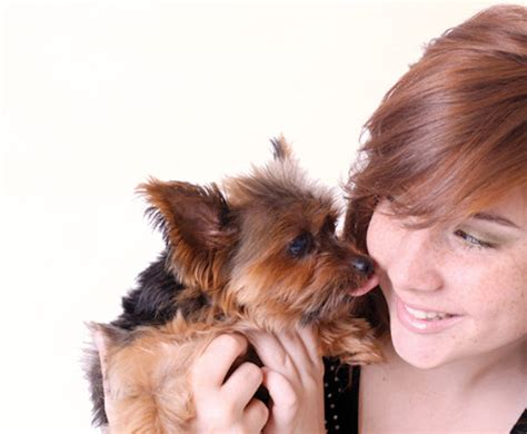 yorkie throwing up blood learn about the terrier breed from a trusted veterinarian