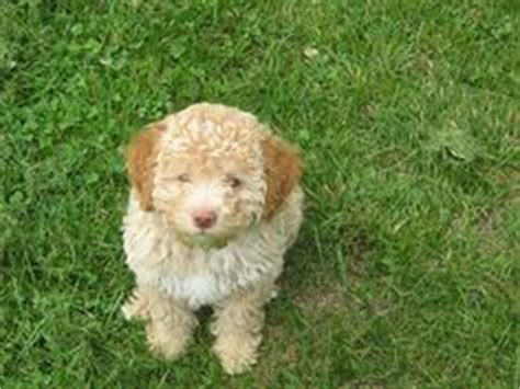 italian word for puppy 1000 images about italian water on lagotto romagnolo italian words