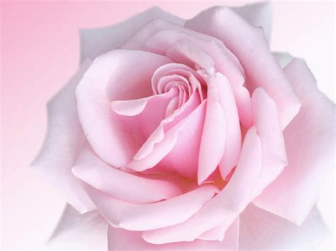 pink rosebud wallpapers pink rose wallpapers