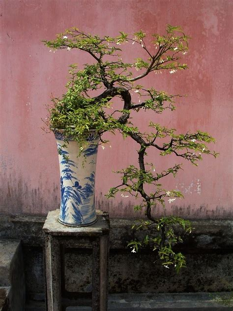 bonsai miniature trees  visual  miracle