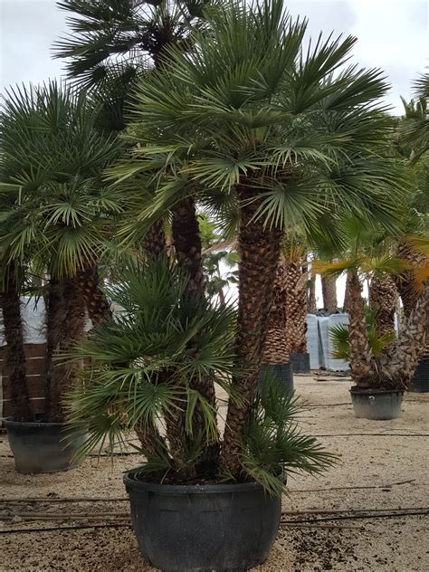 chamaerops humilis mediterranean fan palm chamaerops humilis palm trees mediterranean fan palm