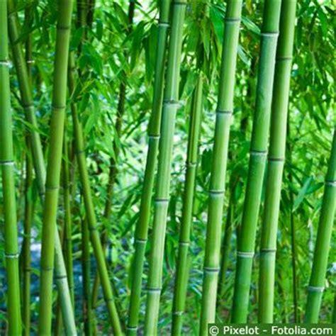 Schnell Wachsender Bambus 1260 schnell wachsender bambus schnell wachsender bambus