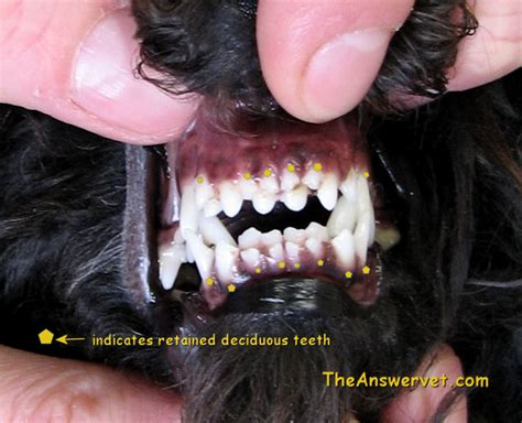 do dogs baby teeth what is a dentistry in dogs and cats and why are dental problems so common