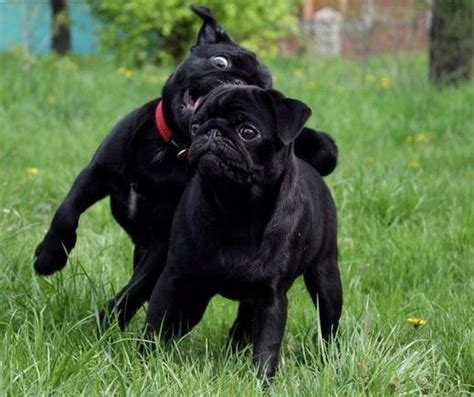 pug breeders arizona 448 best black pug puppies images on