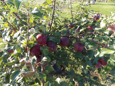 pesticides for fruit trees insect traps for fruit trees pesticide free