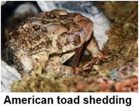 Frog Shedding Skin by Why Do Frogs And Toads Eat Their Shed Skin Ask A