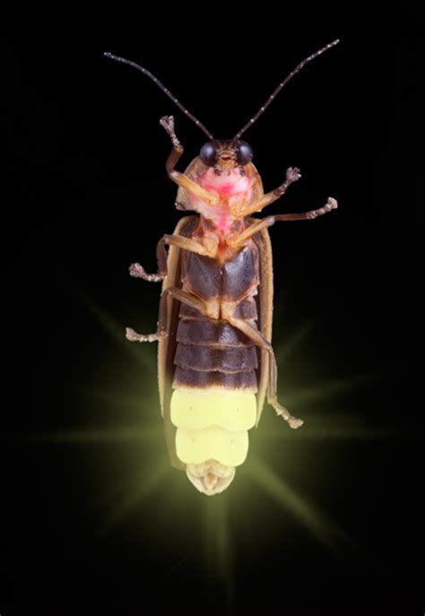 What Makes A Lightning Bug Light Up firefly image search results