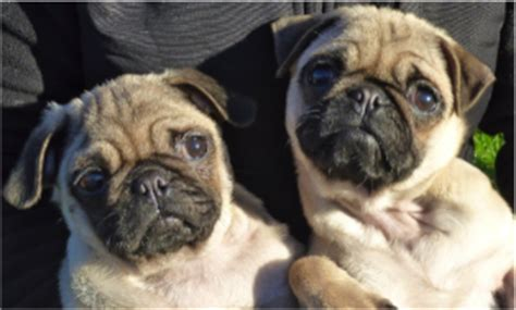 how do pugs live on average about pugs