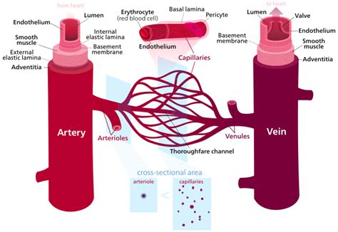 what color are arteries simple science the that perceive all