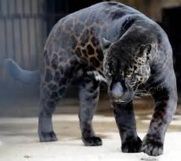Are Panthers Jaguars Black Jaguar