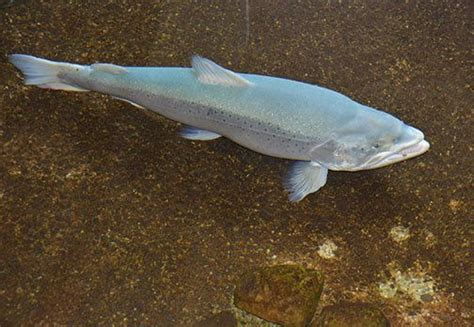 pa fish and boat commission hatcheries have you ever seen a blue trout they aren t one in a