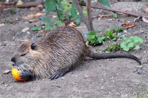 Sho Muskrat the snare shop search by animal