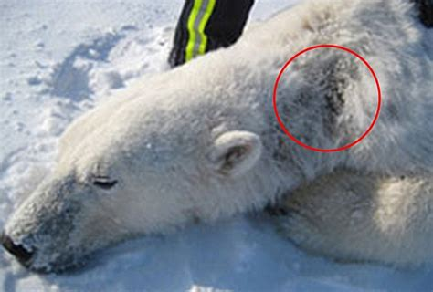 what color is polar fur polar bears with alopecia in arctic daily mail