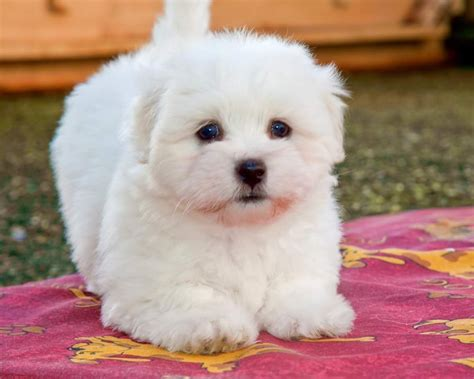 coton de tulear puppy coton de tulear puppies for sale barnsley south pets4homes