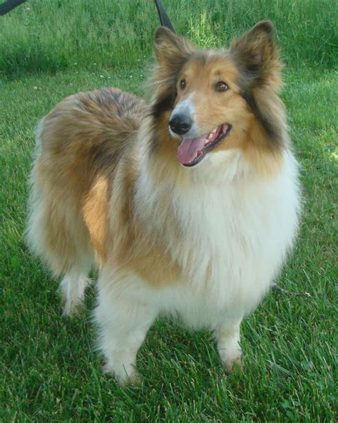 what of is lassie pin lassie collie on