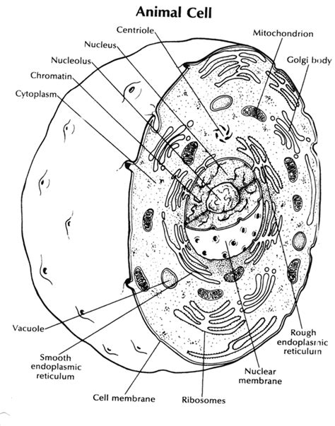free coloring pages of animal cell diagram
