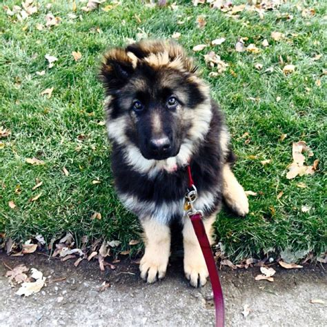 haired german shepherd puppies purebred haired german shepherd puppy