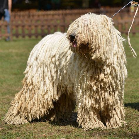 canine breed breeds with dreadlocks pets4homes