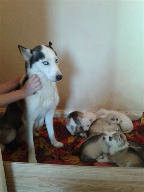 husky puppies for sale nyc top siberian husky breeders pennsylvania siberian husky breeders breeds picture
