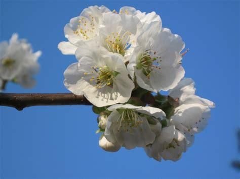 fiori albicocco fotos selezione piante fiori di albicocco 02