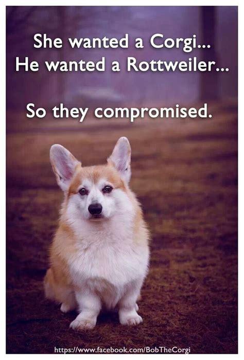 Corgi Puppy Meme - 11 best images about corgi s on pinterest jokes the