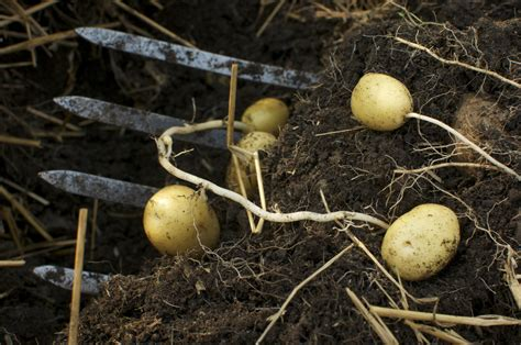 Gardening Potatoes Easy To Grow Organic Potatoes In Containers