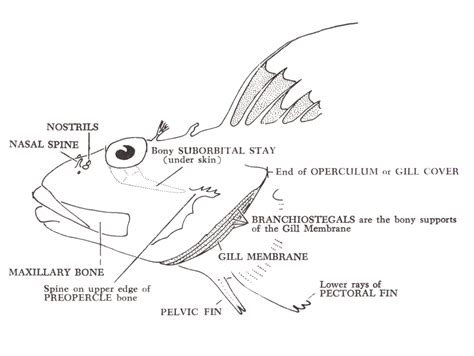 diagram of fish fish diagram images image collections how to guide and