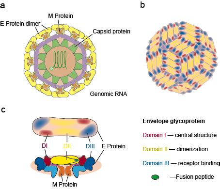 e protein dengue dengue virus creative diagnostics