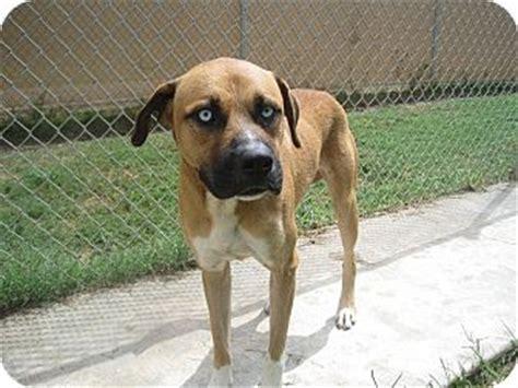 boxer puppies san antonio ranger adopted san antonio tx boxer mastiff mix