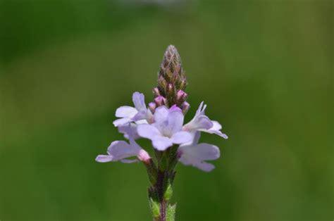 fiori di bach x ansia fiori di bach per rilassarsi e dormire