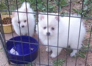 pomeranian puppies for sale in orange county pomeranian puppies for sale orange county ca 199532
