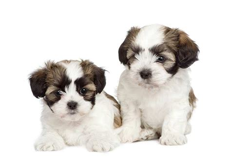 shih tzu cross maltese puppies maltese shih tzu maltese shih tzu pet insurance breed info